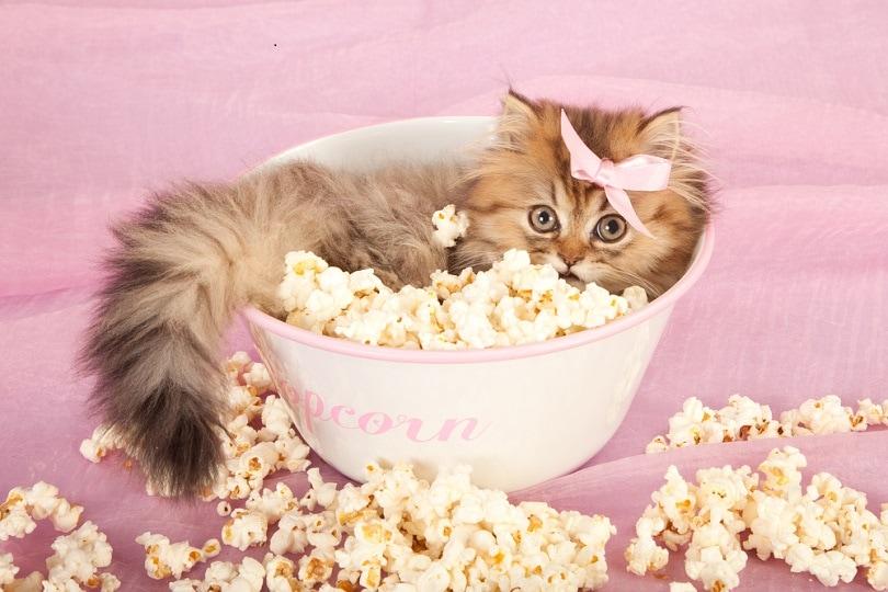 Golden Chinchilla Persia kitten_linn currie_shutterstock