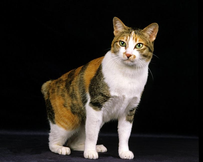 Japanese Bobtail Cat