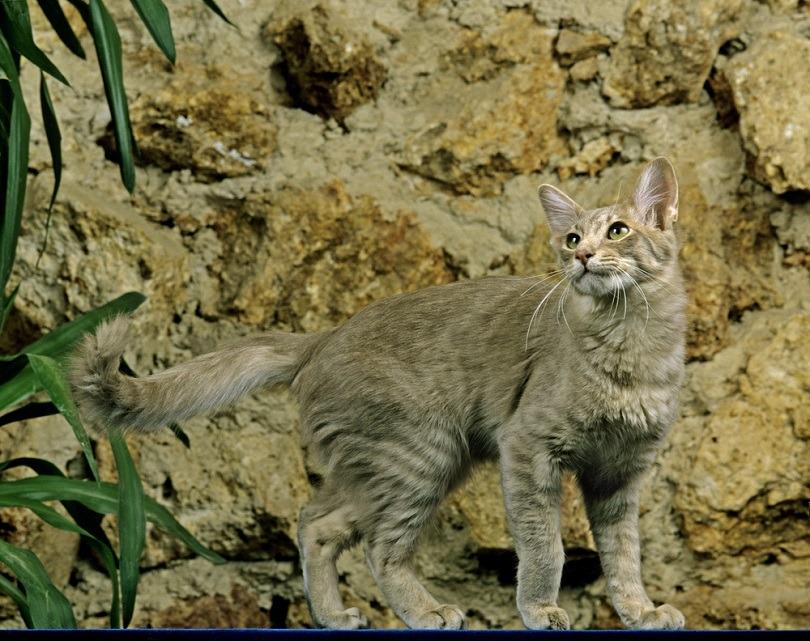 Longhair Oriental Domestic Cat_slowmotitongli_shutterstock