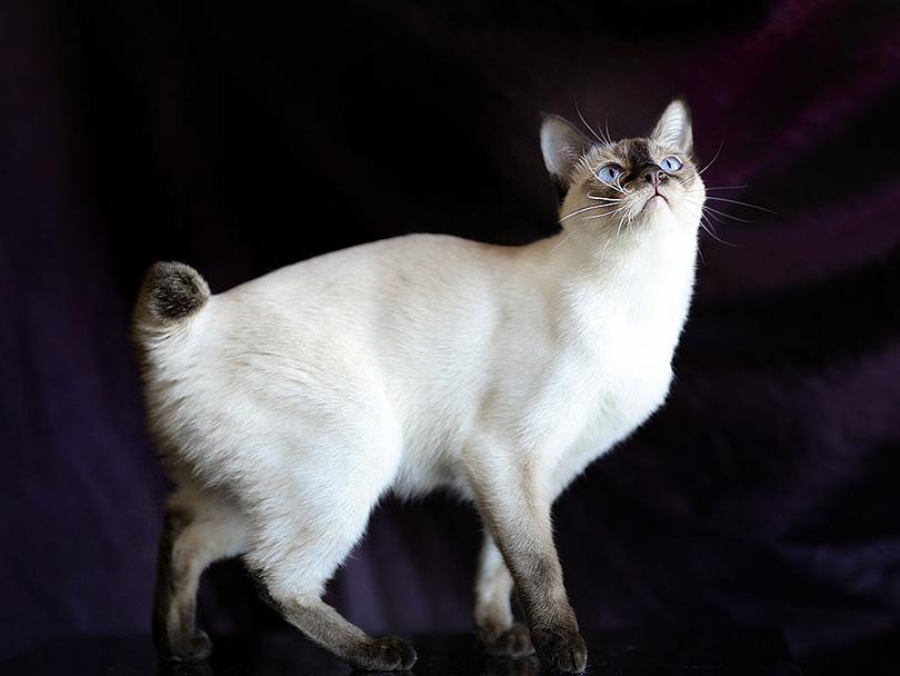 Mekong Bobtail Cat
