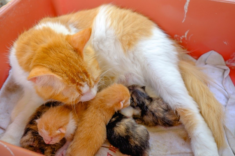 Mother cat breastfeeding little kittens_Azami adiputera_shutterstock