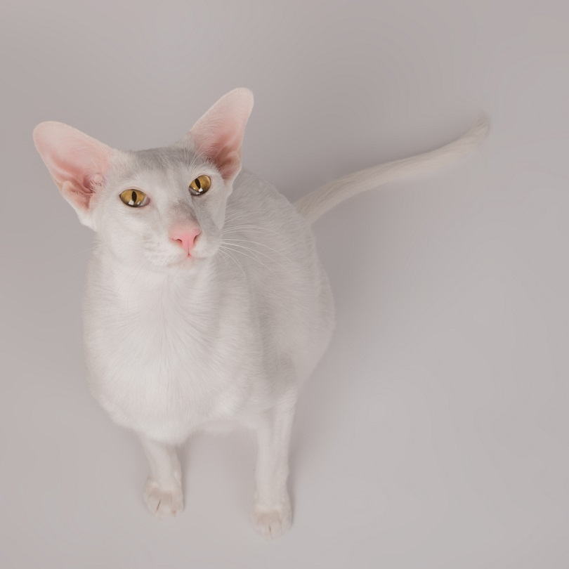 Oriental White Cat_alexandra Morrison photo_shutterstock