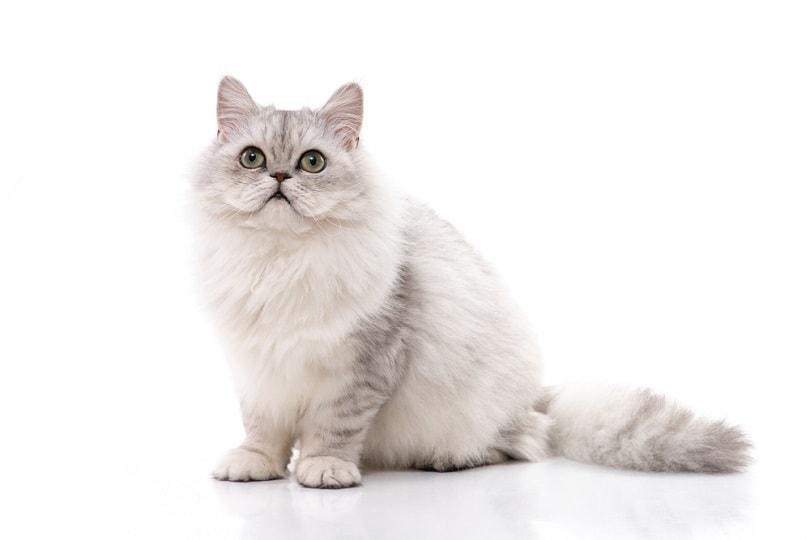 Persian cat grey_ANURAK PONTPATIMET_shutterstock