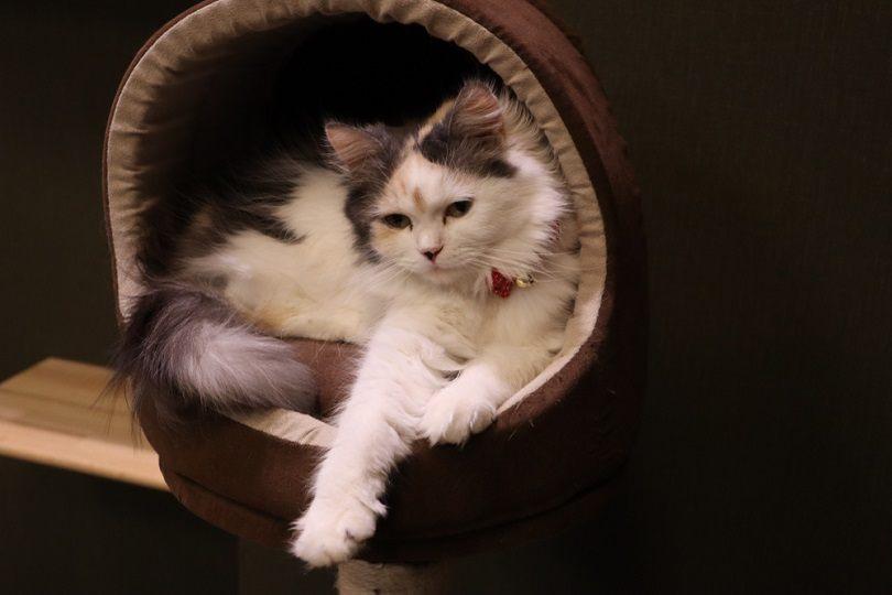 Ragamuffin cat hiding_Ryo Nagashima_shutterstock