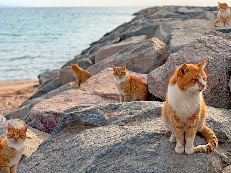 Red cats on sea beach in Japan island_Saksa_shutterstock