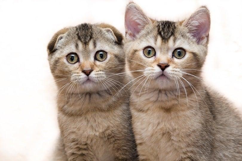 Scottish-fold and scottish-straight kittens_Dzart_shutterstock