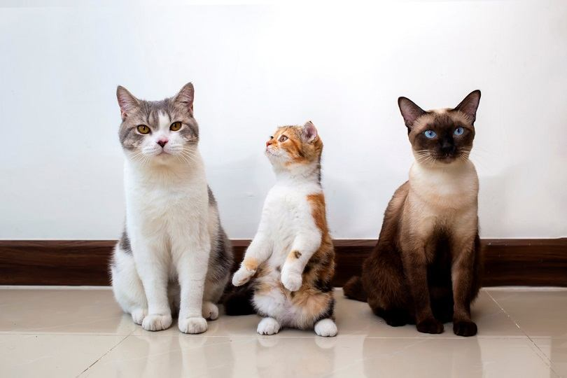 Scottish fold cat with siamese cat are sitting_Witsawat.s_shutterstock