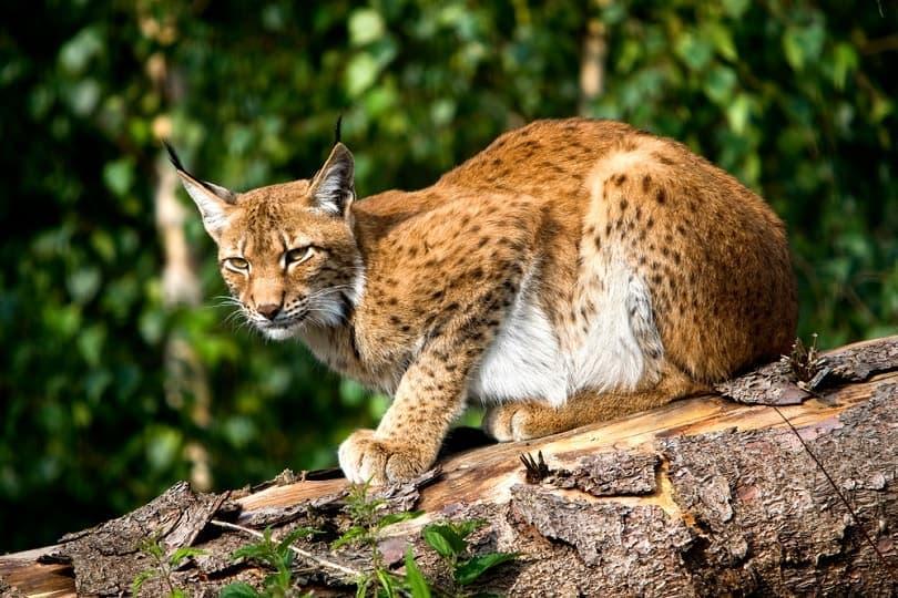 Siberian Lynx_slowmotiongli_shutterstock