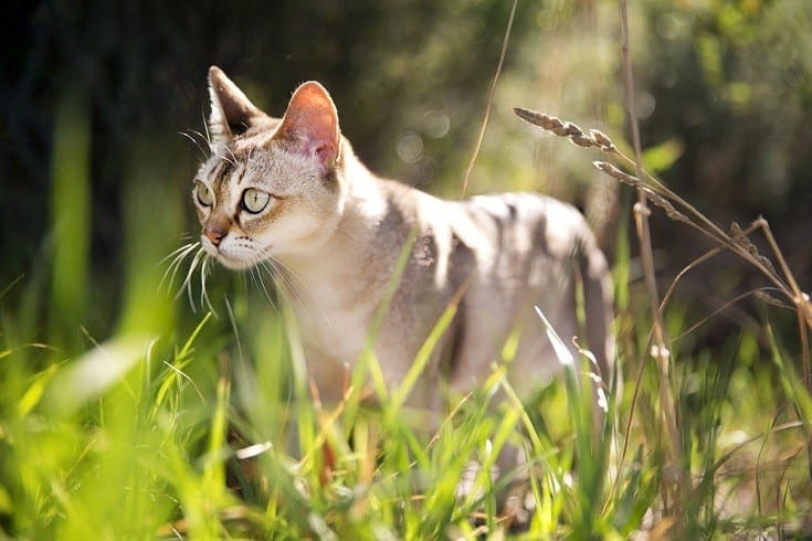 Singapura cat