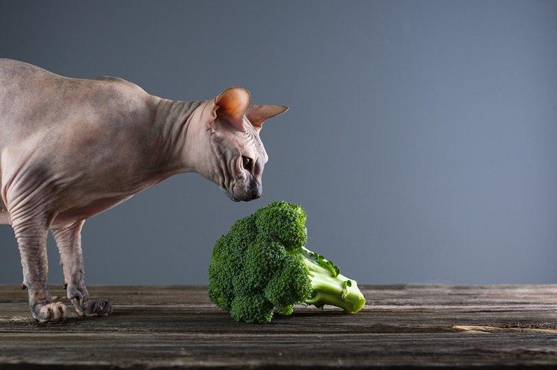 Sphynx cat eats broccoli_Yushchuk Myroslava_shutterstock
