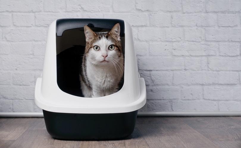 Tabby cat sitting in a litter box_Lightspruch_shutterstock