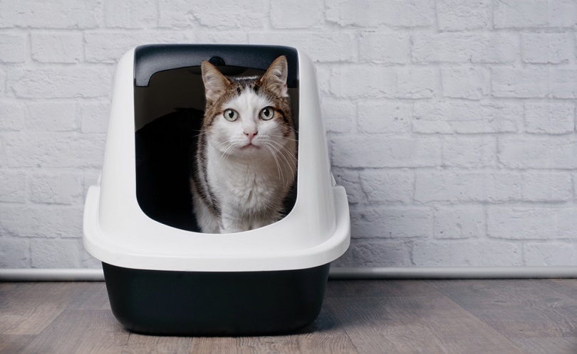 Tabby cat sitting in a litter box_Lightspruch_shutterstoock