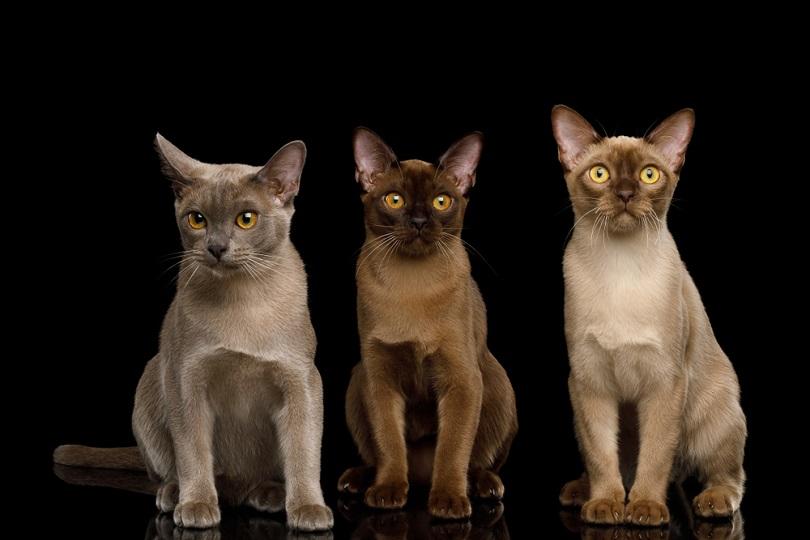 Three Burma Cats_Seregraff_shutterstock