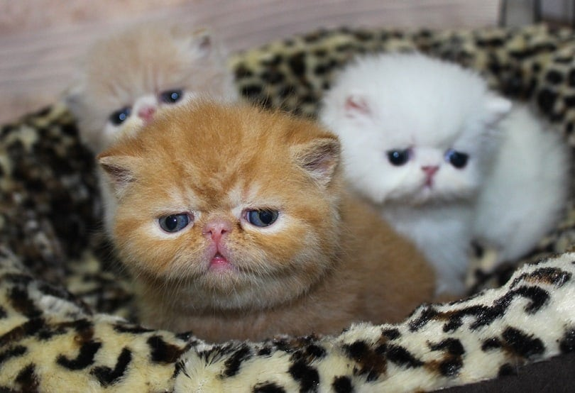 Three little Exotic Shorthair Kittens_Studio95_shutterstock