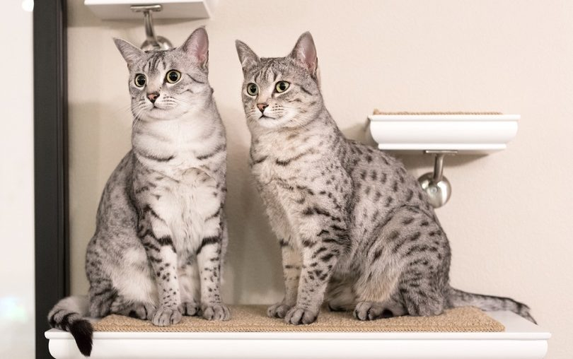 Two cute Egyptian Mau cats_Sarah Fields Photography_shutterstock