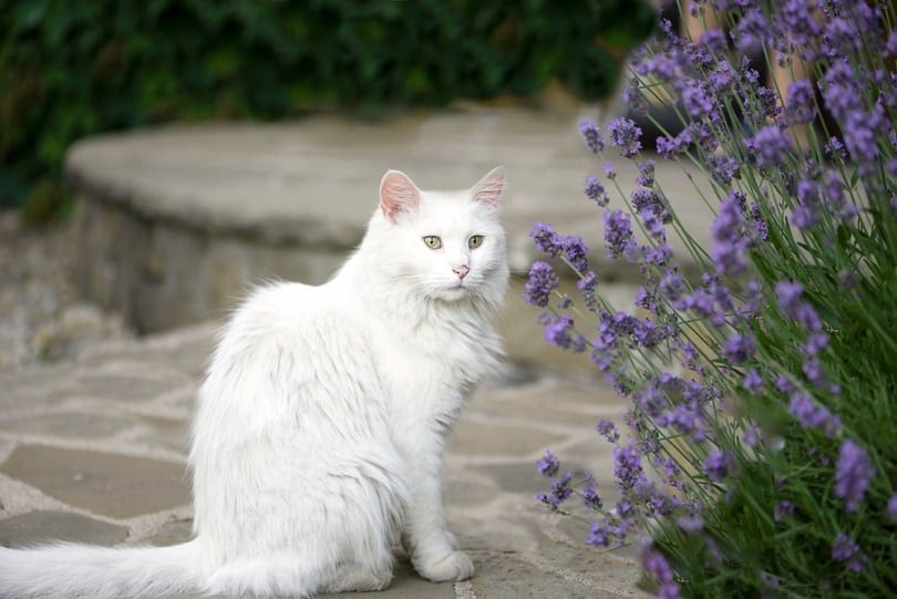 a cat sitting near lavender flowers