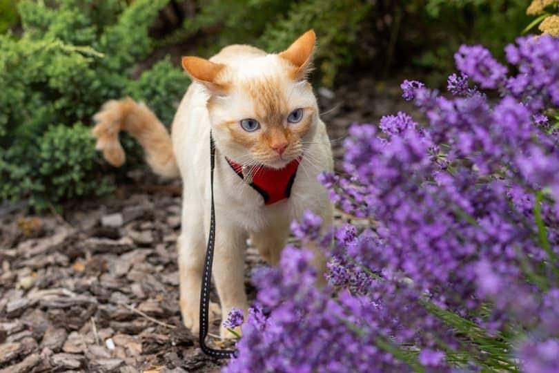 a domestic cat staring at a lavender bush