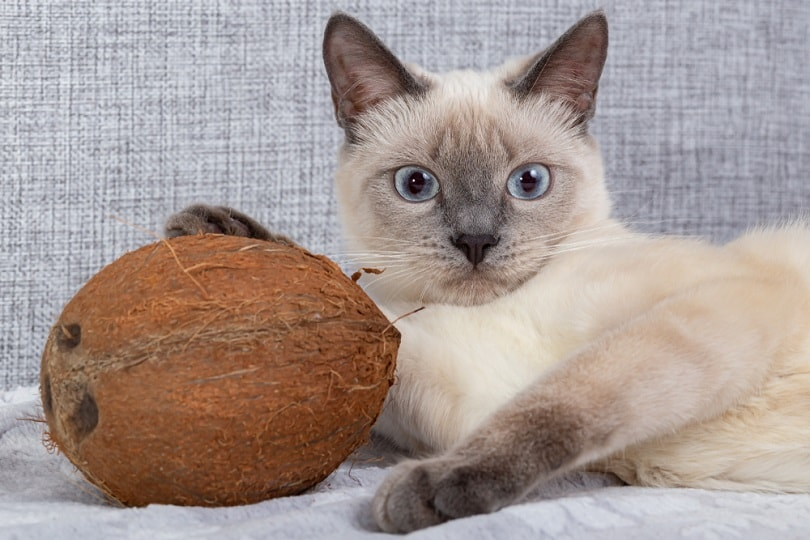 a kitten playing with coconut