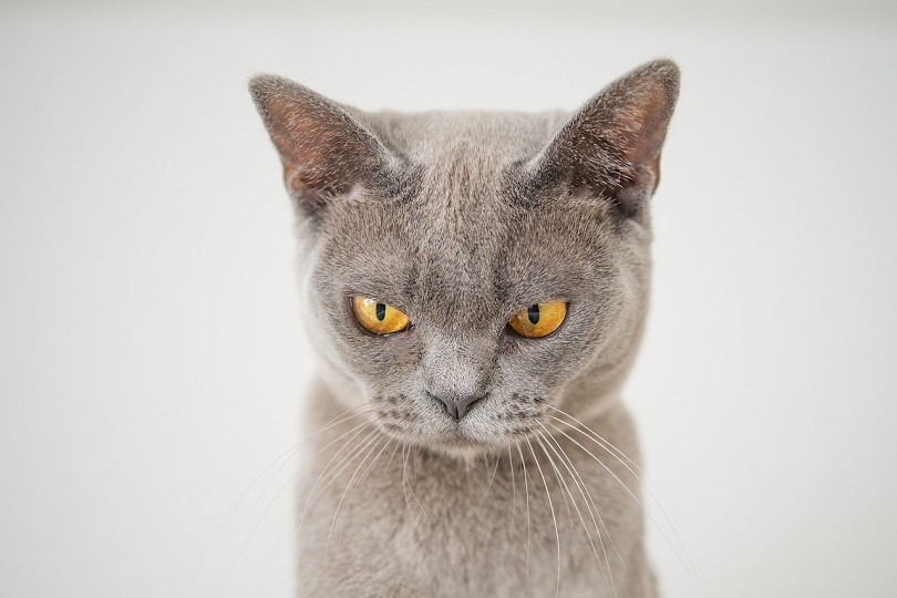 angry cat pixabay