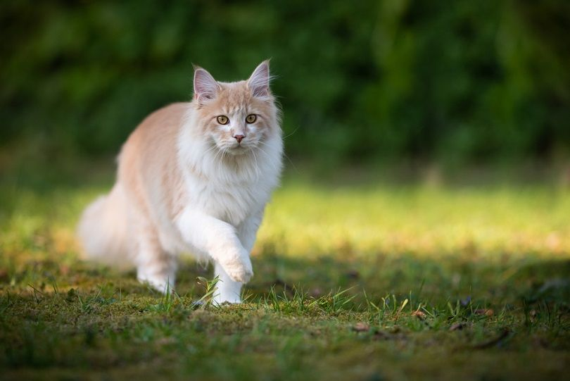 beige fawn maine coon cat on the move walking_Nils Jacobi_shutterstock