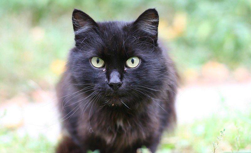 black cat straight on