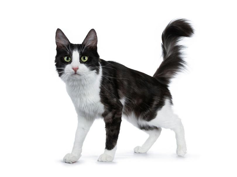 black smoke with white Turkish Angora cat_Nynke van Holten_shutterstock