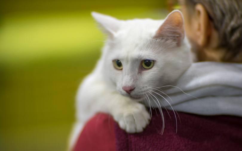 cat Aphrodite_Jaroslaw Kurek_shutterstock