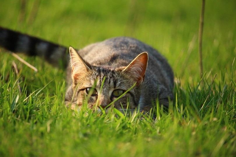 cat-grass pixabay