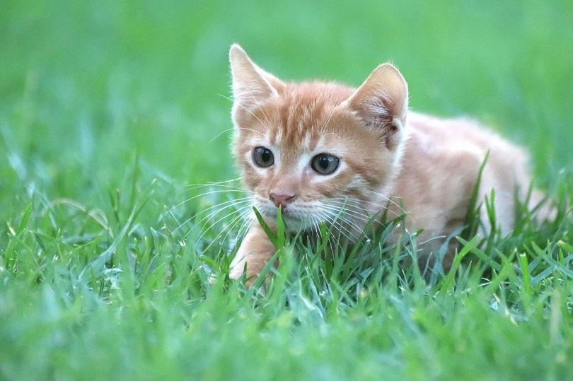 cat grass pixabay5