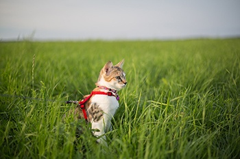 cat with a leash on meadow