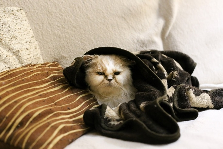 cat with blanket