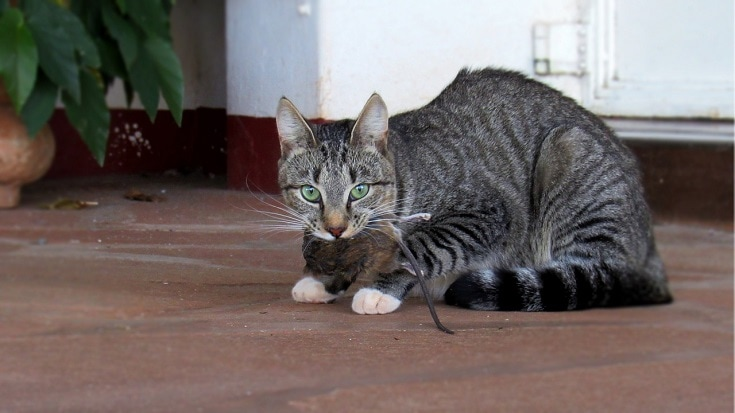 cat with dead rat