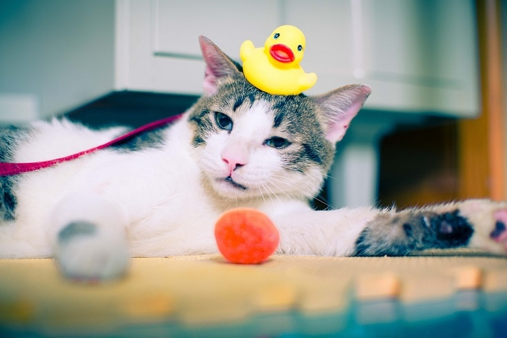cat with rubber duck