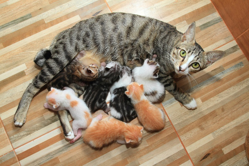 Newborn red kittens suck milk_NataVilman_shutterstock