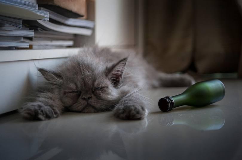 drunk cat_sandyman_shutterstock