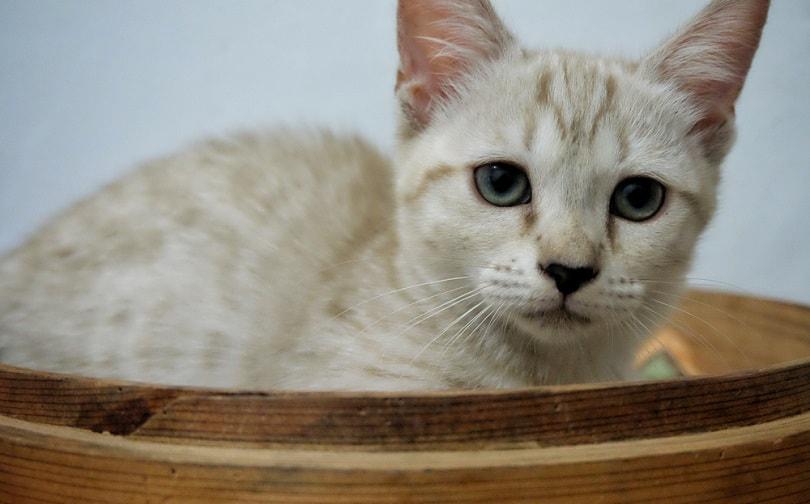 genetta kitten_syafta_shutterstock