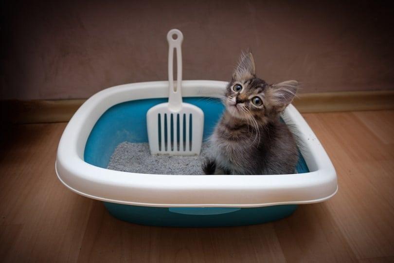 gray kitten sitting in litter box_Andrey Khusnutdinov_shutterstock