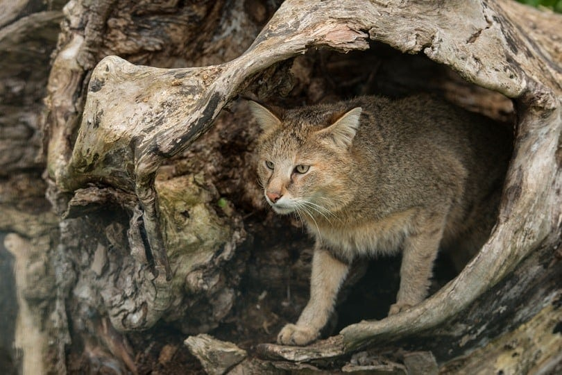 jungle cat Felis Chaus_Matt gibson_shutterstock