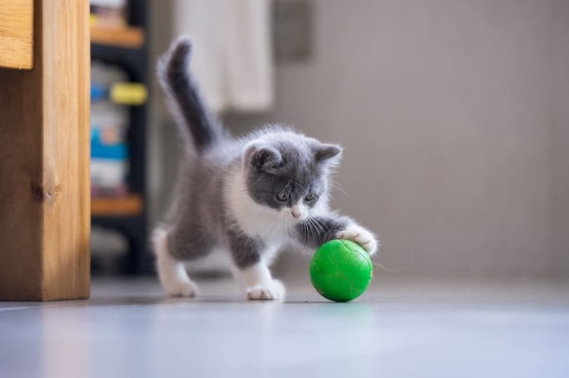 kitten is playing with a ball_Chendongshan_shutterstock