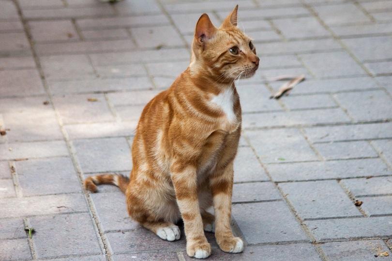 nile valley egyptian stray cat_Rodrigo Munoz Sanchez_shutterstock