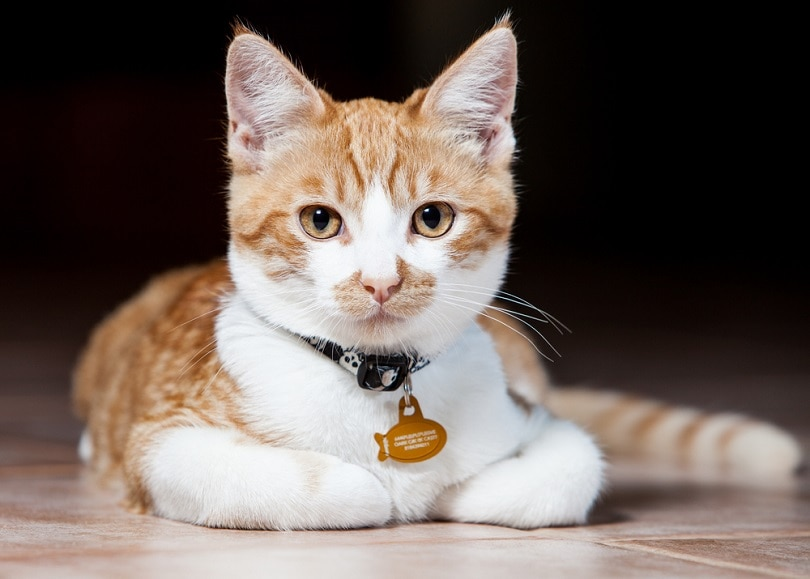 orange and white tabby cat with collar_Sydneymills_shutterstock