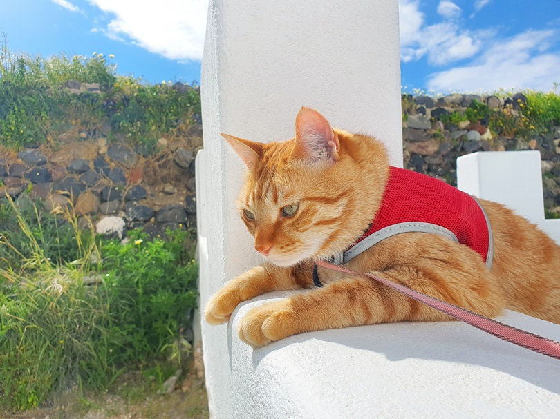 orange yellow cat wear a red harness_NINA IN SANTORINI_shutterstock