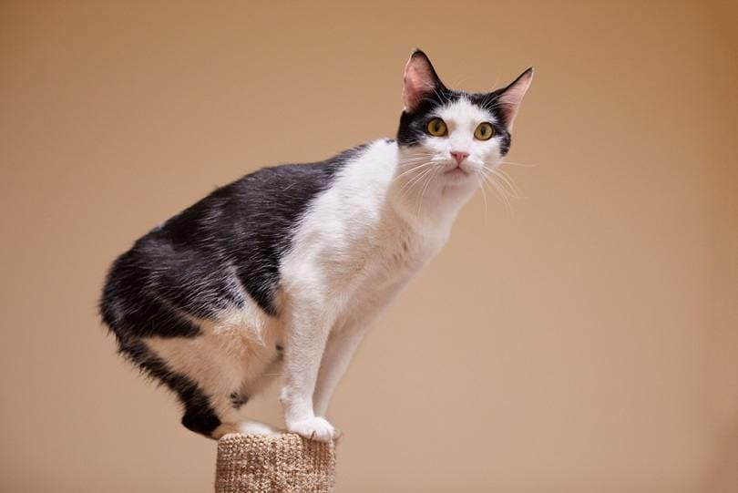 playful young black and white Manx_Seattle Cat Photo_shutterstock