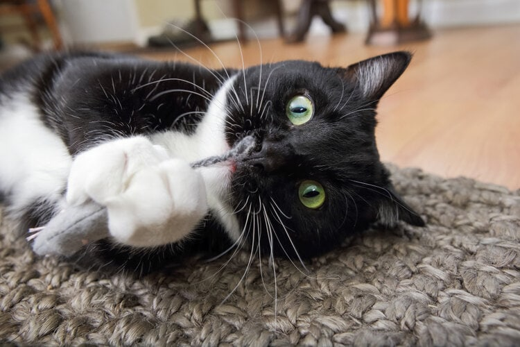 black & white cat with cat nip