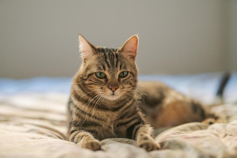 short hair cat lying_Krakenimages.com_shutterstock