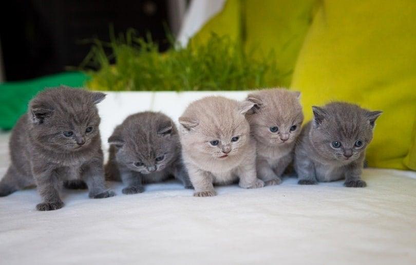 sweet chartreux kittens_Gosha Georgiev_shutterstock