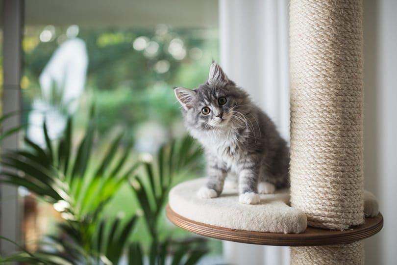 tabby maine coon kitten standing on cat furniture platform_Nils Jacobi_shutterstock
