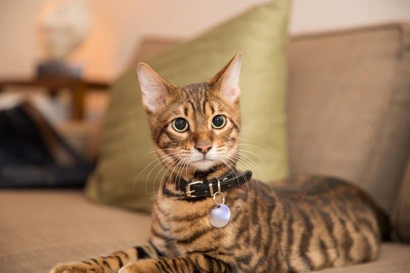 toyger kitten with collar_stockelements_shutterstock
