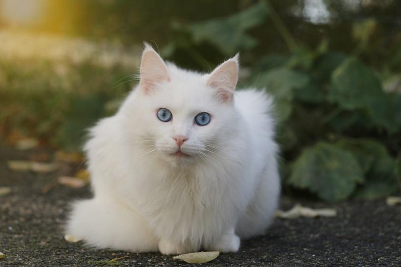 turkish cat with blue eyes_love pattern_shutterstock