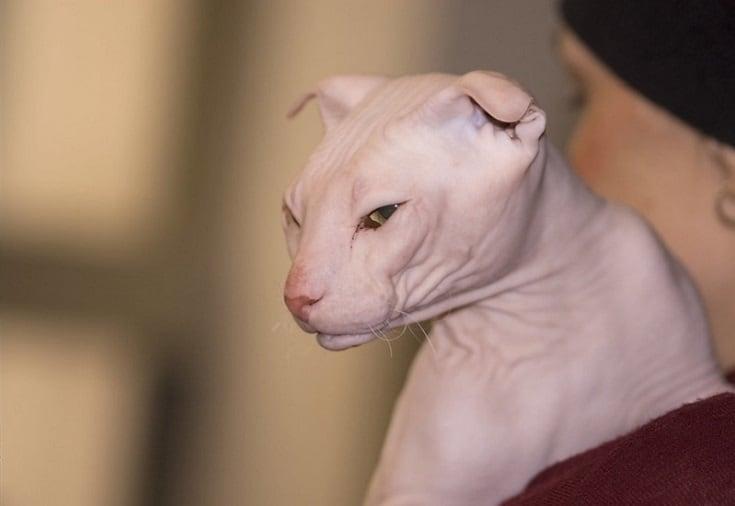 ukrainian levkoy cat